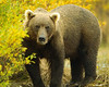 Fall & Summer Grizzly Bears : Prettiest teeth you''ve ever seen on a smiling bear!!