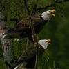 Bald Eagles :